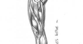 Muscles – Leg